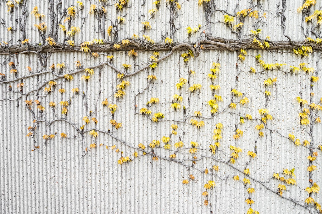 Vine Growth at UWO - Curated photo by Kickstarter on Unsplash Collection 148